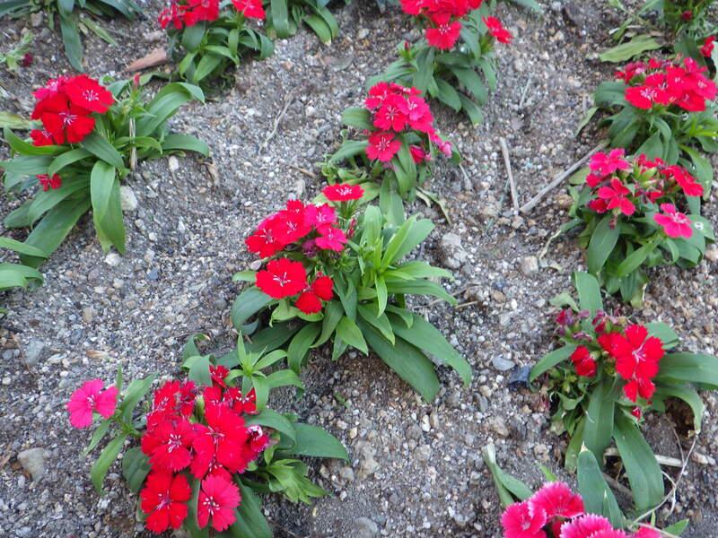 花植えナデシコ 1-4